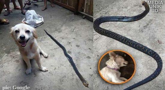 Picture Yuk Simak Info Kisah Anjing vs Ular